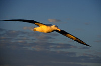Albatross at Sunset